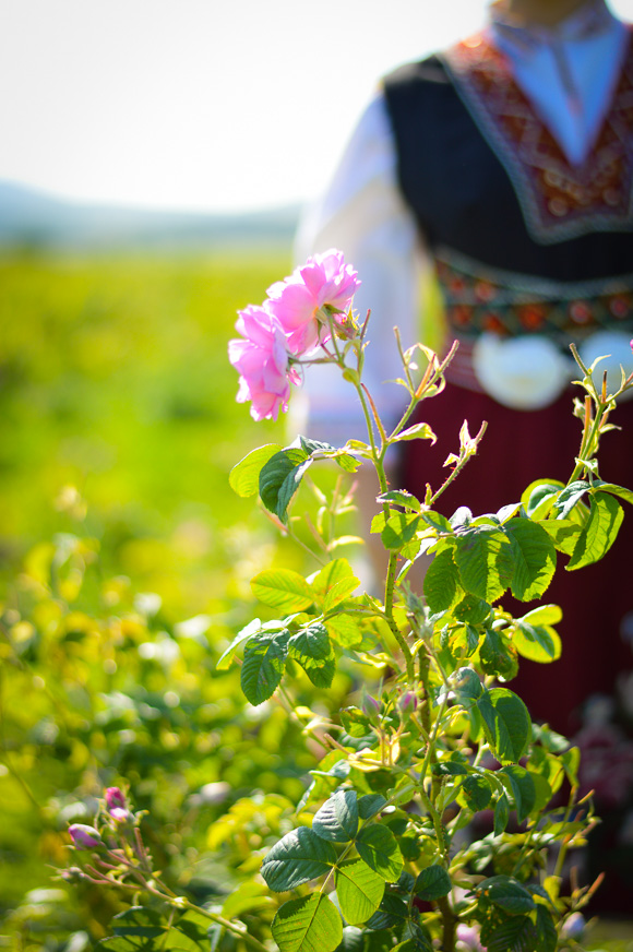Rosa Damascena during the Rose Festival in Kazanlak