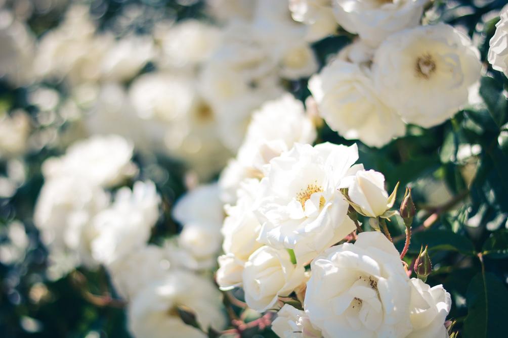 Bulgarian Roses