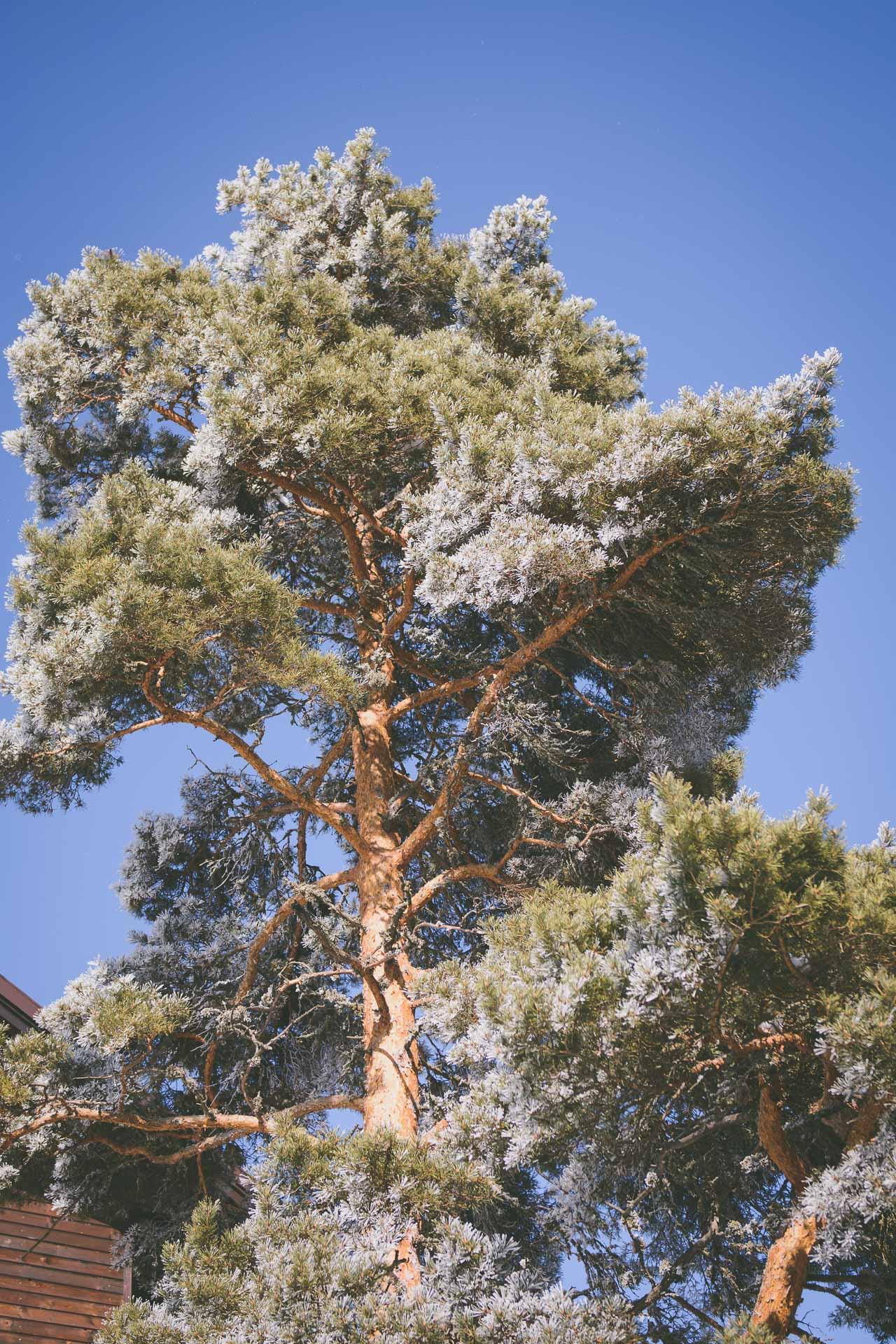 Borovets hills spa tree