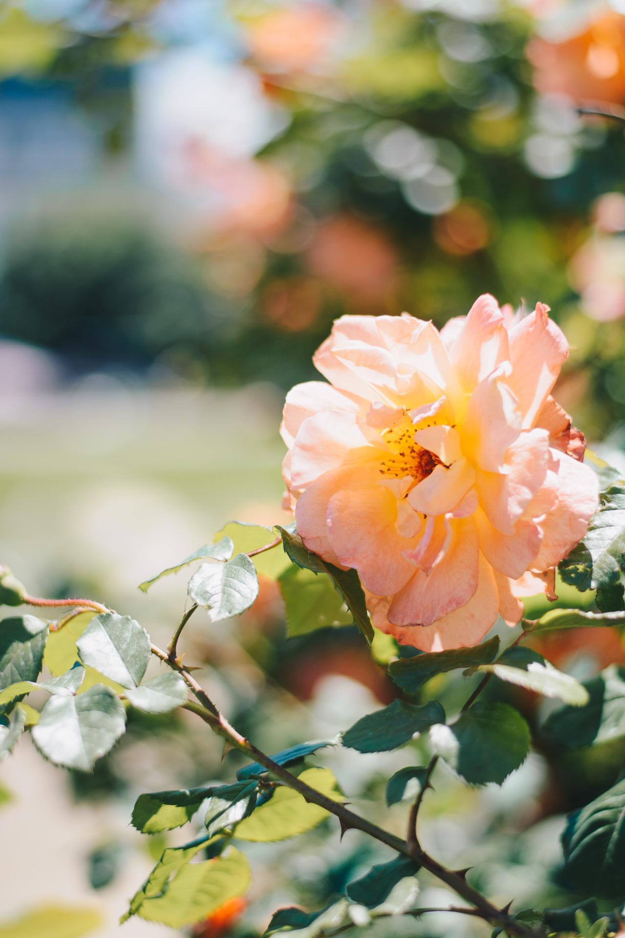 20170529 Bulgarian rose