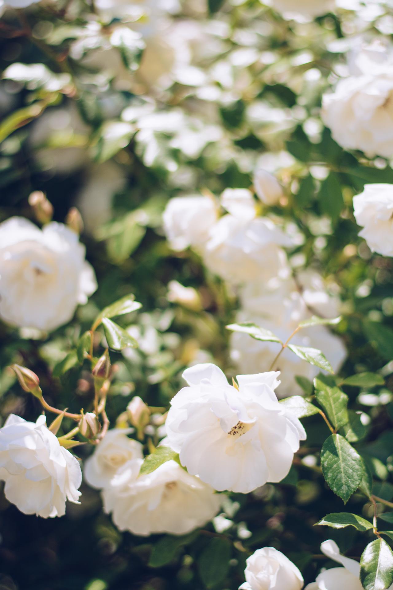 bulgarian white roses