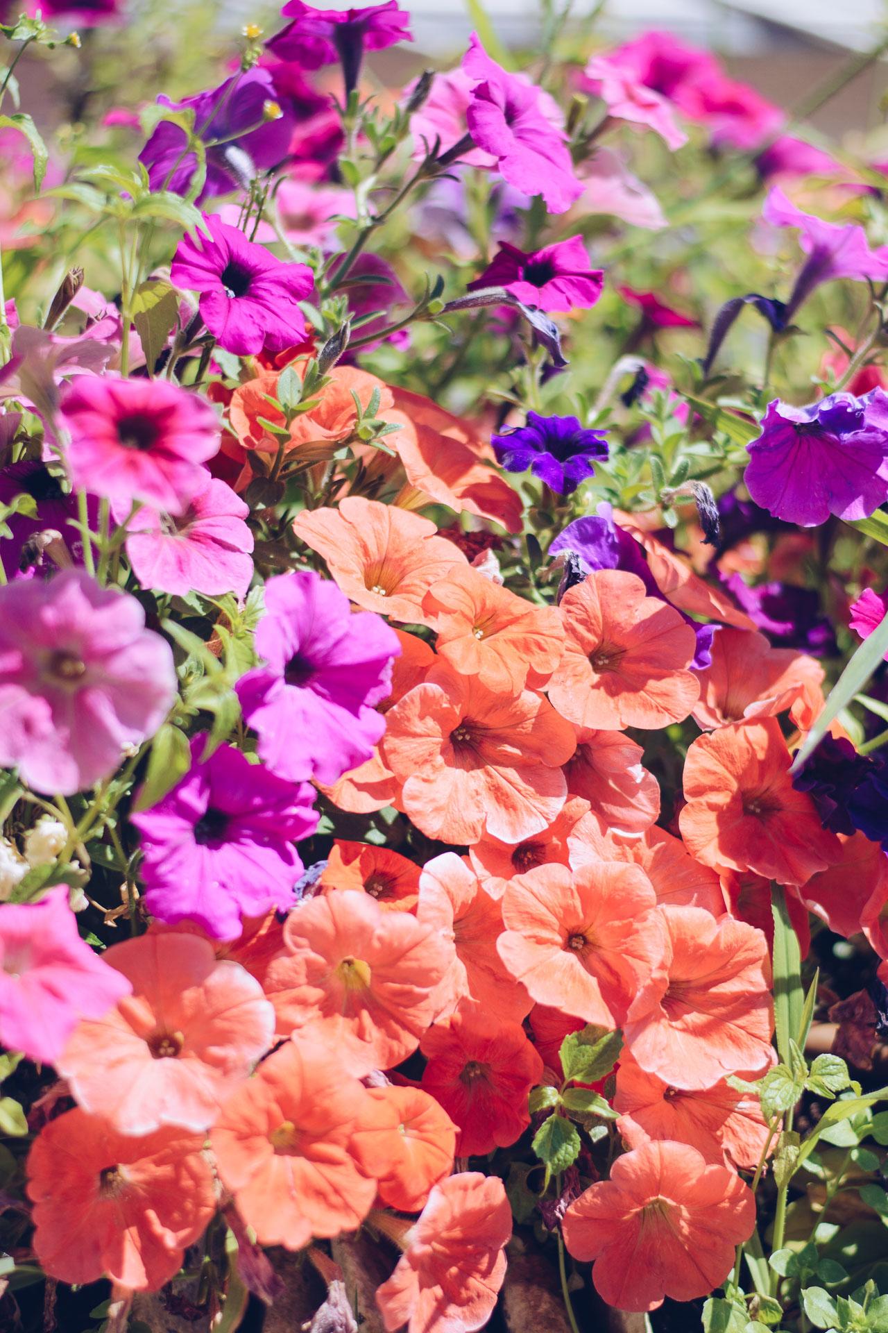 Bulgarian flowers