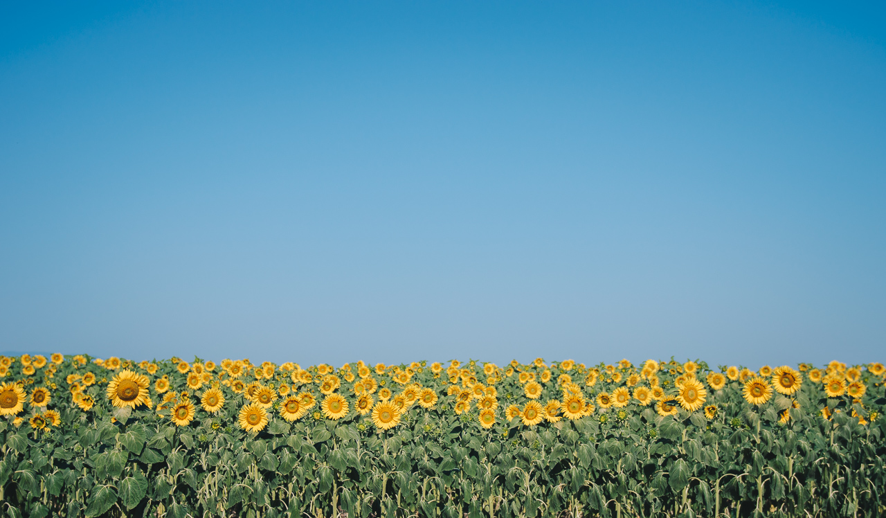 Sunflower fields bloom