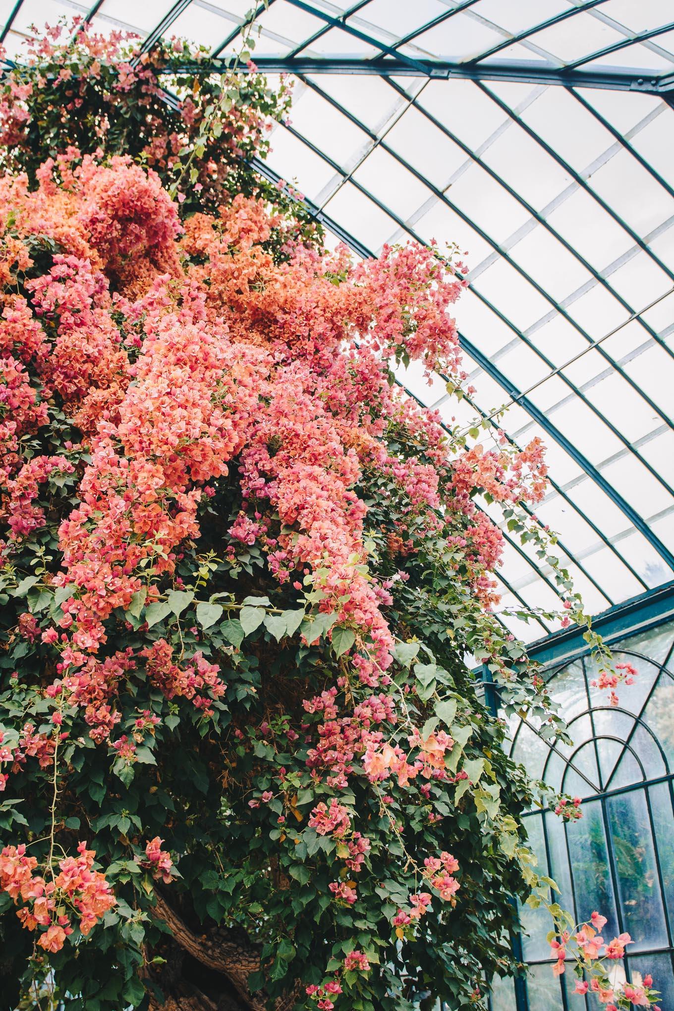 Spring bougainvillea